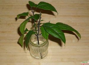 Магония падуболистная: технология выращивания