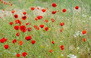Маки - нежное очарование полей. посадка, выращивание, уход