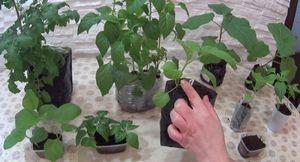 Маленькие хитрости в выращивание рассады перца