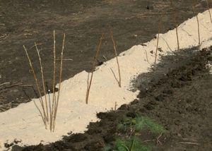 Малина: посадка, выращивание, уход