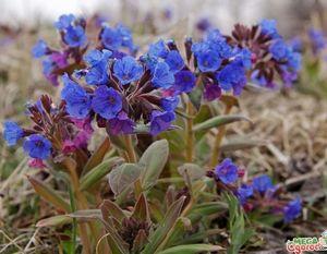 Медуница: описание, свойства и выращивание цветка
