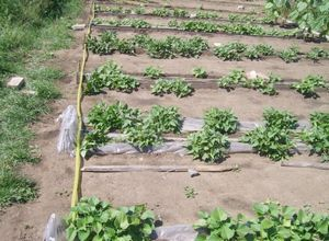 Метод миттлайдера: уход за растениями