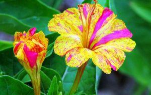 Мирабилис: правильное выращивание ночной красавицы