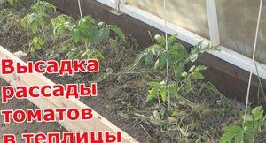 Мои секреты ухода за помидорами
