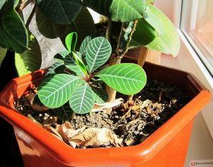 Молочай беложильчатый - красивое и неприхотливое комнатное растение