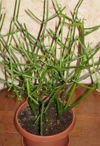 Молочай комнатный: агротехника и виды растения