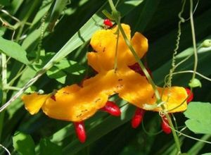 Момордика. выращивание момордики