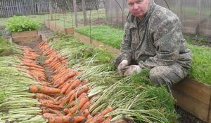 Морковь на даче. простой способ выращивания.