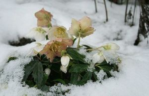 Морозник - цветок зимы
