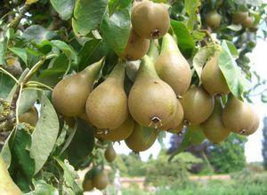 Москвичка — вкусная десертная груша родом из подмосковья