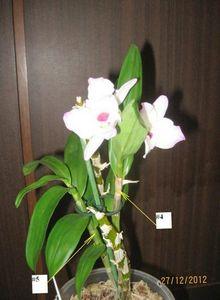 Некоторые виды орхидей рода дендробиум: уход и особенности содержания