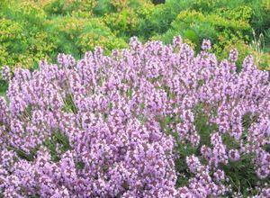 О лечебных свойствах пряных растений