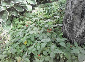 О приствольном круге плодовых деревьев