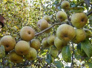 О прививке плодовых деревьев