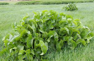 О выращивании хрена в огороде