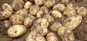 О выращивании картофеля