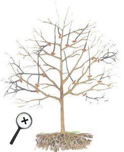 Обрезка деревьев и кустарников, формируем колонновидную крону (пиллар)