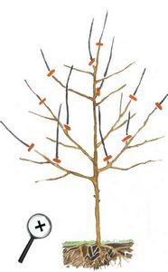 Обрезка плодовых деревьев после формирования кроны