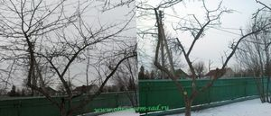 Обрезка старых яблонь – процесс необходимый для омоложения дерева