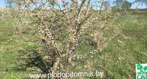 Обрезка вишни, сливы, терна и алычи, прореживание ветвей