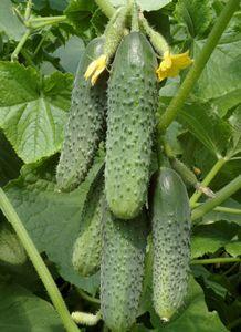 Огурцы кураж f1 - описание сорта и правила выращивания на грядке
