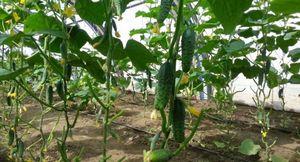 Огурцы сорта артист f1: характеристики и технология выращивания