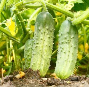 Огурцы сорта «клавдия f1»: описание сорта и его выращивание