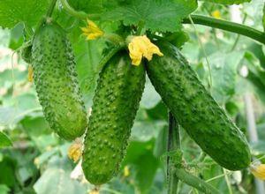Огурцы зозуля – лучший гибридный сорт для грядок и теплиц