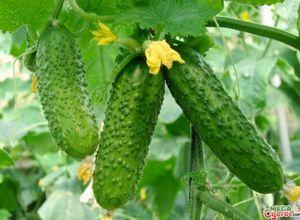 Огурец теща: особенности, выращивание и болезни