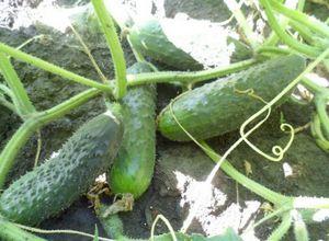 Огурец зятек – неприхотливый и высокоурожайный сорт