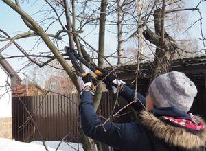 Омолаживающая обрезка плодоносящих деревьев