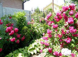 Описание груп плетистых роз