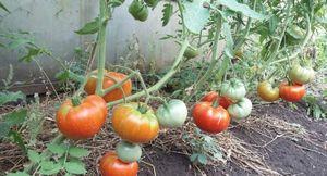 Описание и преимущества сорта томата хлебосольный