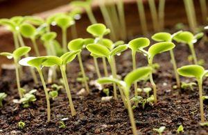 Определяем сроки посева овощей