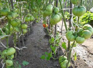 Опыт выращивания огурцов в открытом грунте