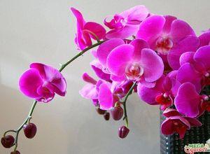 Орхидея, как пересаживать – сроки, правила и преимущества