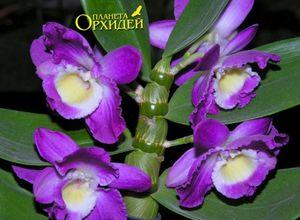 Орхидея: уход за ней, размножение, особенности и разновидности цветка