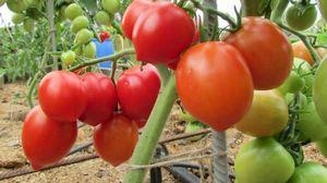 Особенности и правила выращивания томатов сорта «вельможа»