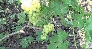 Особенности винограда сорта алекса