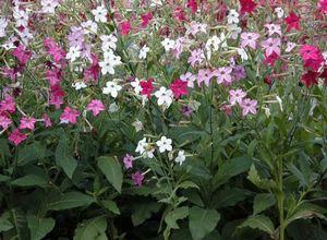 Особенности выращивания душистого табака: сорта, уход, агротехника рассады в теплице