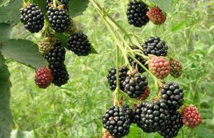 Особенности выращивания ежевики на северо-западе