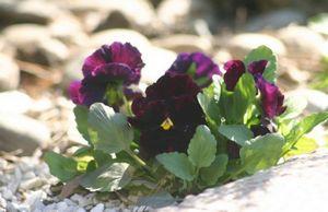 Особенности выращивания фиалки виттрока в теплице