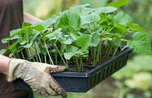 Особенности выращивания кабачков в теплице из поликарбоната