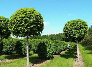 Особенности выращивания, посадка и использования шаровидного клена
