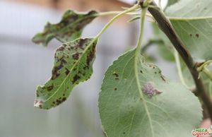 Особенности выращивания поздней груши бере боск