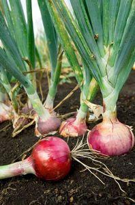 Овощная наука: как вырастить крупный лук