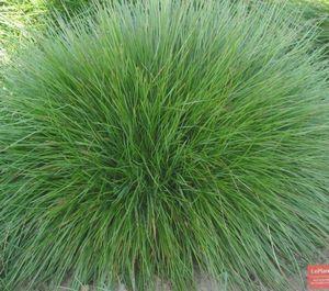 Овсяница красная - лучшее декоративное растение для участка