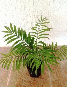 Пальма хамедорея: виды и правила выращивания