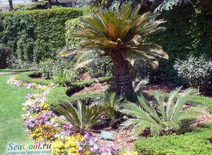 Пальмы: ботаническая справка
