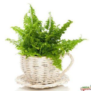 Папоротник домашний: методы размножения и рекомендации по уходу за растением